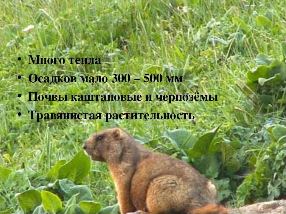 Много тепла Осадков мало 300 – 500 мм Почвы каштановые и чернозёмы Травяниста...