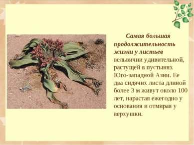 Самая большая продолжительность жизни у листьев вельвичии удивительной, расту...