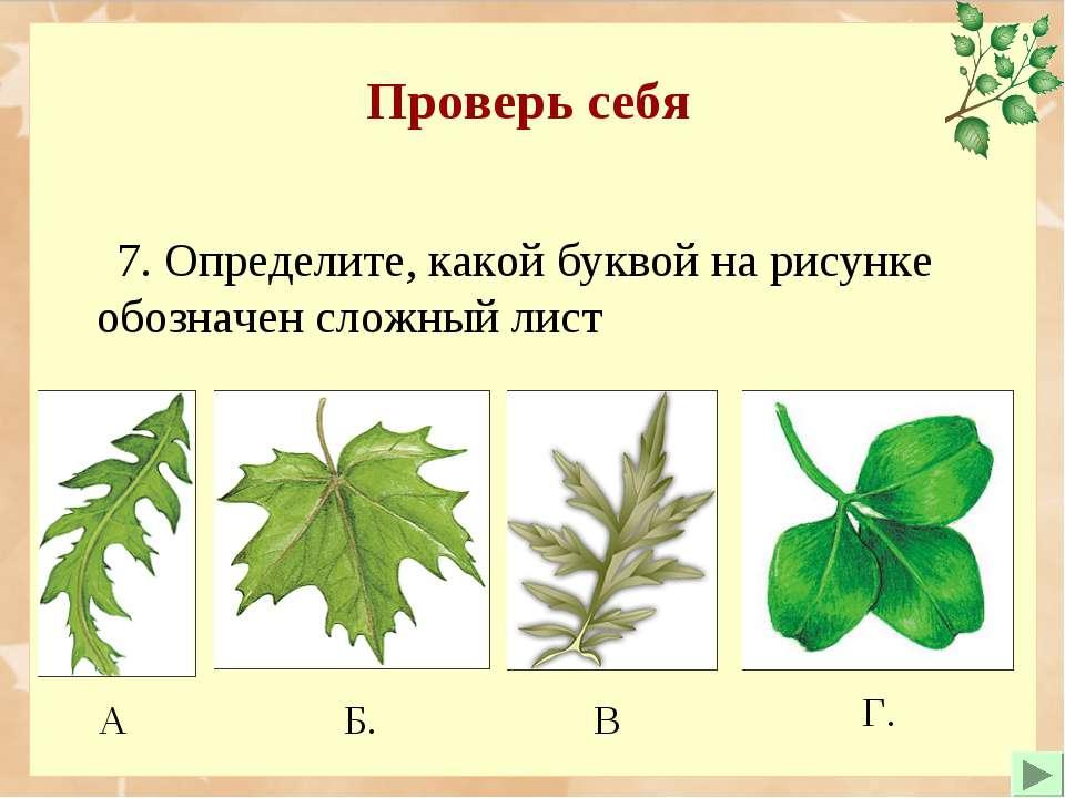 Проверь себя 7. Определите, какой буквой на рисунке обозначен сложный лист Б....
