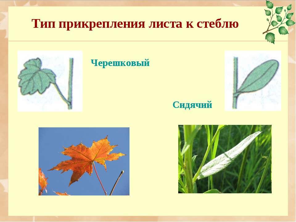 Тип прикрепления листа к стеблю Сидячий Черешковый