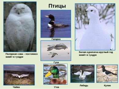 Птицы Полярная сова – постоянно живёт в тундре Белая куропатка круглый год жи...