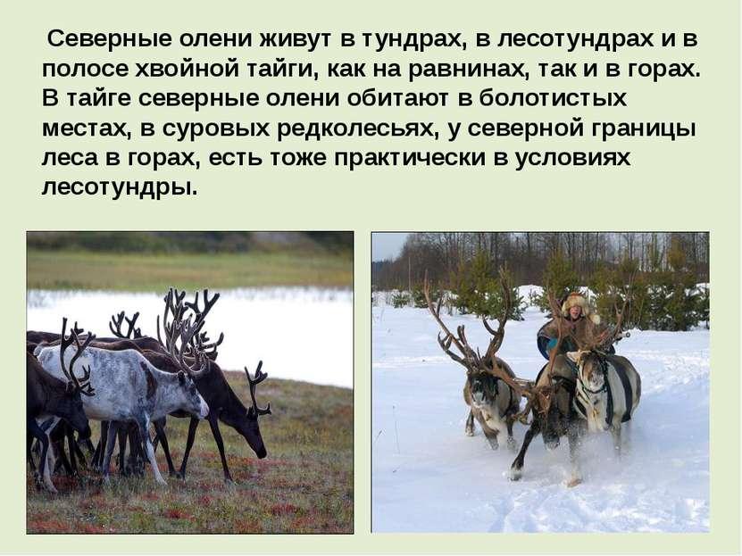 Северные олени живут в тундрах, в лесотундрах и в полосе хвойной тайги, как н...