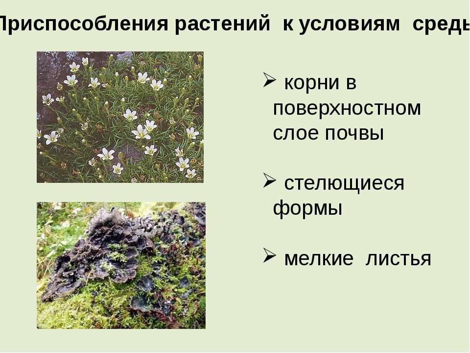 Приспособления растений к условиям среды корни в поверхностном слое почвы сте...