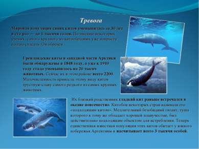 Тревога Мировая популяция синих китов уменьшилась за 30 лет в сто раз — до 1 ...