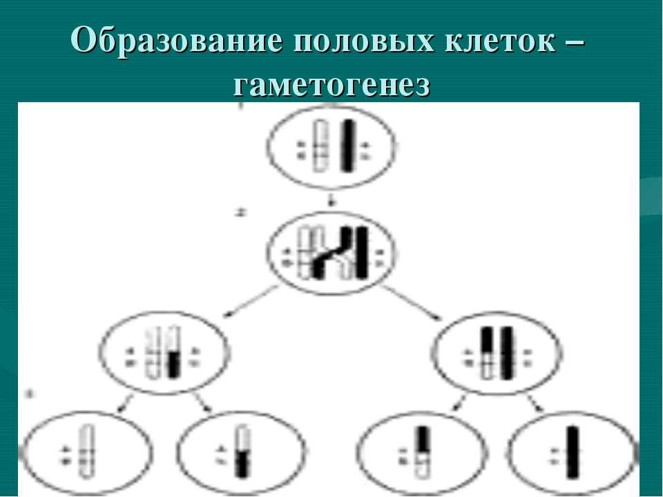 Образование половых клеток – гаметогенез