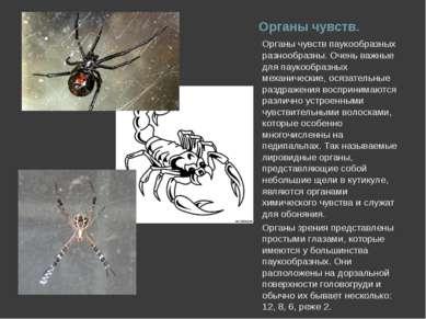 Органы чувств. Органы чувств паукообразных разнообразны. Очень важные для пау...