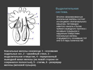 Выделительная система. Вполне сформированные коксальные железы состоят из кон...