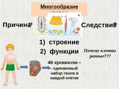 Многообразие клеток: Причина Следствие строение ? ? 46 хромосом – – одинаковы...