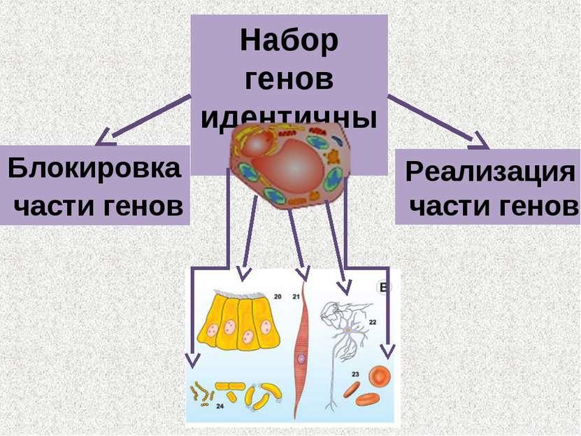 Набор генов идентичный Блокировка части генов Реализация части генов
