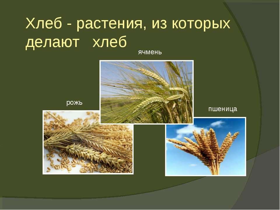 Хлеб - растения, из которых делают хлеб рожь пшеница ячмень