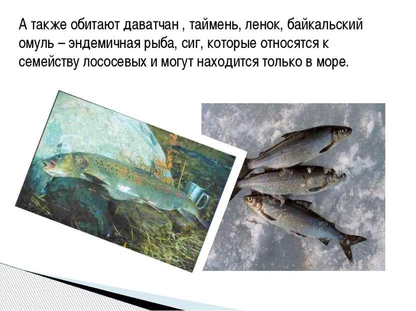 А также обитают даватчан , таймень, ленок, байкальский омуль – эндемичная рыб...