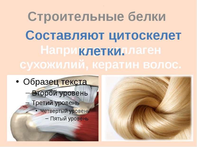 . Строительные белки Например, коллаген сухожилий, кератин волос. Составляют ...