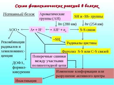 Схема фотохимических реакций в белках