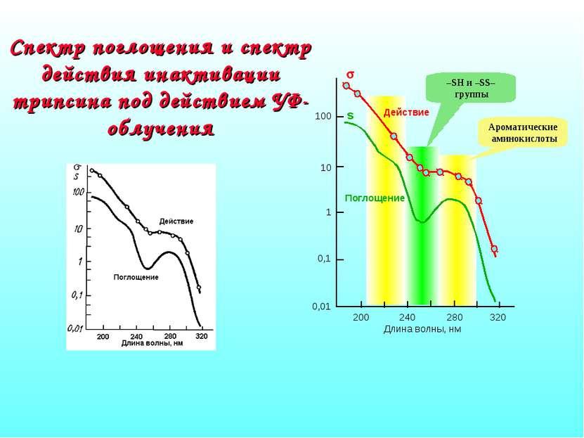 Спектр поглощения и спектр действия инактивации трипсина под действием УФ-обл...