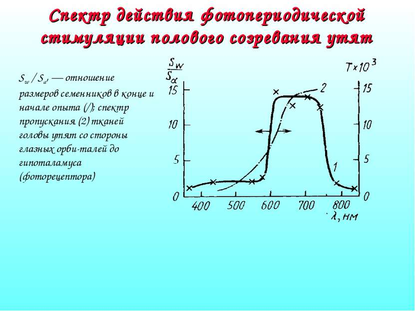 Спектр действия фотопериодической стимуляции полового созревания утят Sw / Sa...