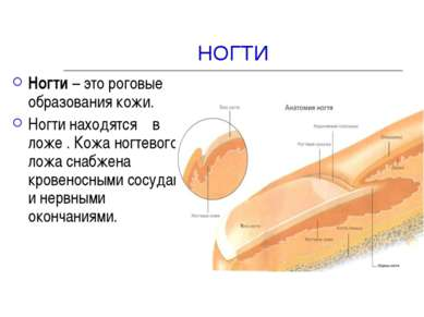 НОГТИ Ногти – это роговые образования кожи. Ногти находятся в ложе . Кожа ног...