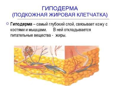 ГИПОДЕРМА (ПОДКОЖНАЯ ЖИРОВАЯ КЛЕТЧАТКА) Гиподерма – самый глубокий слой, связ...