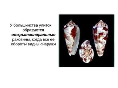 У большинства улиток образуются открытоспиральные раковины, когда все ее обор...
