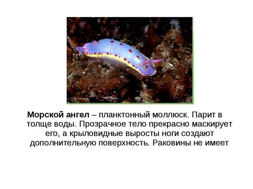 Морской ангел – планктонный моллюск. Парит в толще воды. Прозрачное тело прек...