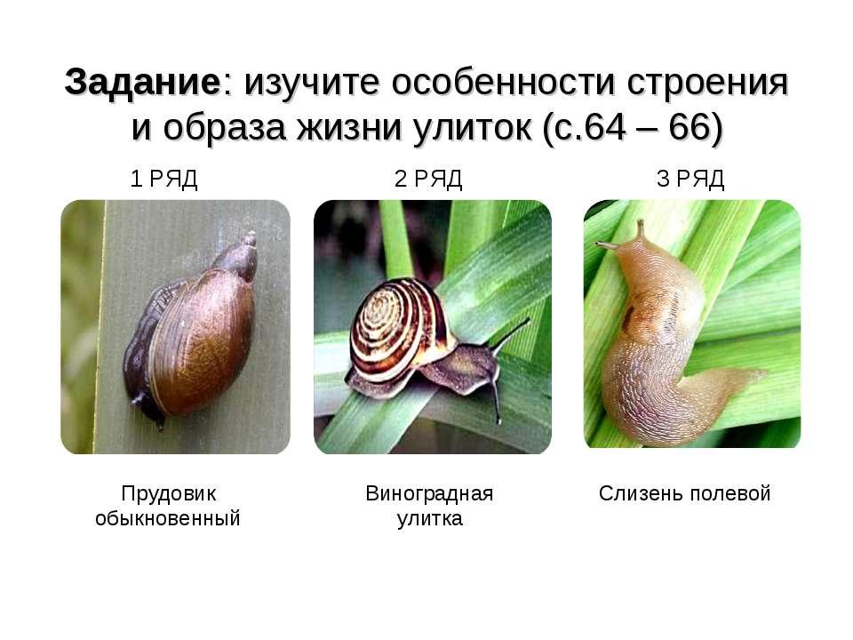 Задание: изучите особенности строения и образа жизни улиток (с.64 – 66) 1 РЯД...
