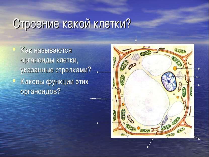 Строение какой клетки? Как называются органоиды клетки, указанные стрелками? ...