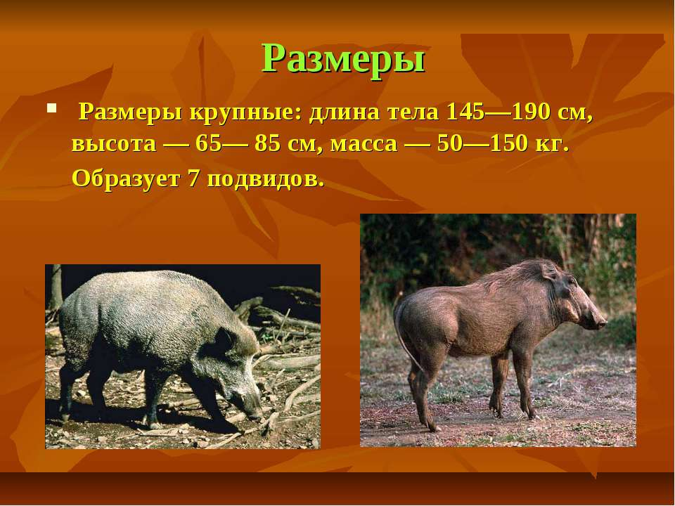 Размеры Размеры крупные: длина тела 145—190 см, высота — 65— 85 см, масса — 5...