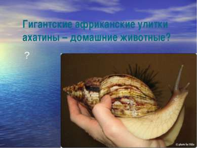 Гигантские африканские улитки ахатины – домашние животные? ?