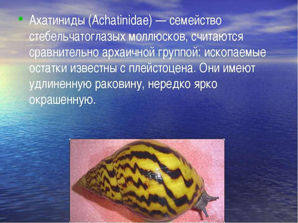Ахатиниды (Achatinidae) — семейство стебельчатоглазых моллюсков, считаются ср...