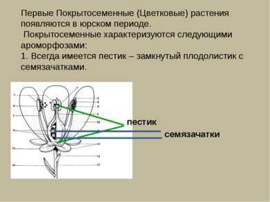Первые Покрытосеменные (Цветковые) растения появляются в юрском периоде. Покр...