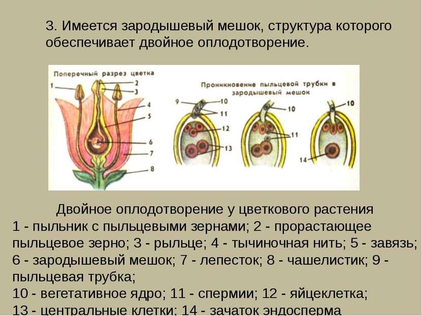 3. Имеется зародышевый мешок, структура которого обеспечивает двойное оплодот...