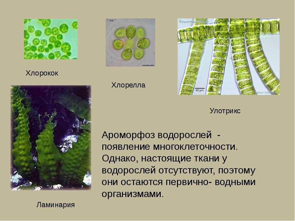 Ароморфоз водорослей - появление многоклеточности. Однако, настоящие ткани у ...