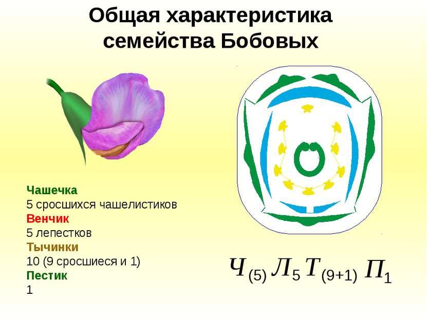 Общая характеристика семейства Бобовых Чашечка 5 сросшихся чашелистиков Венчи...