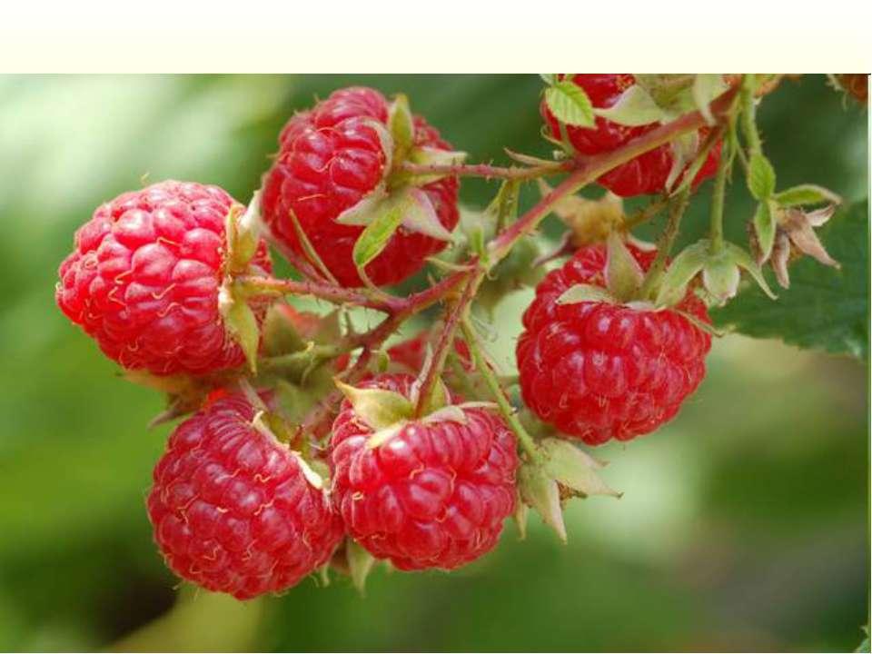 Многолетний полукустарник семейства розоцветных, с ароматными плодами красног...