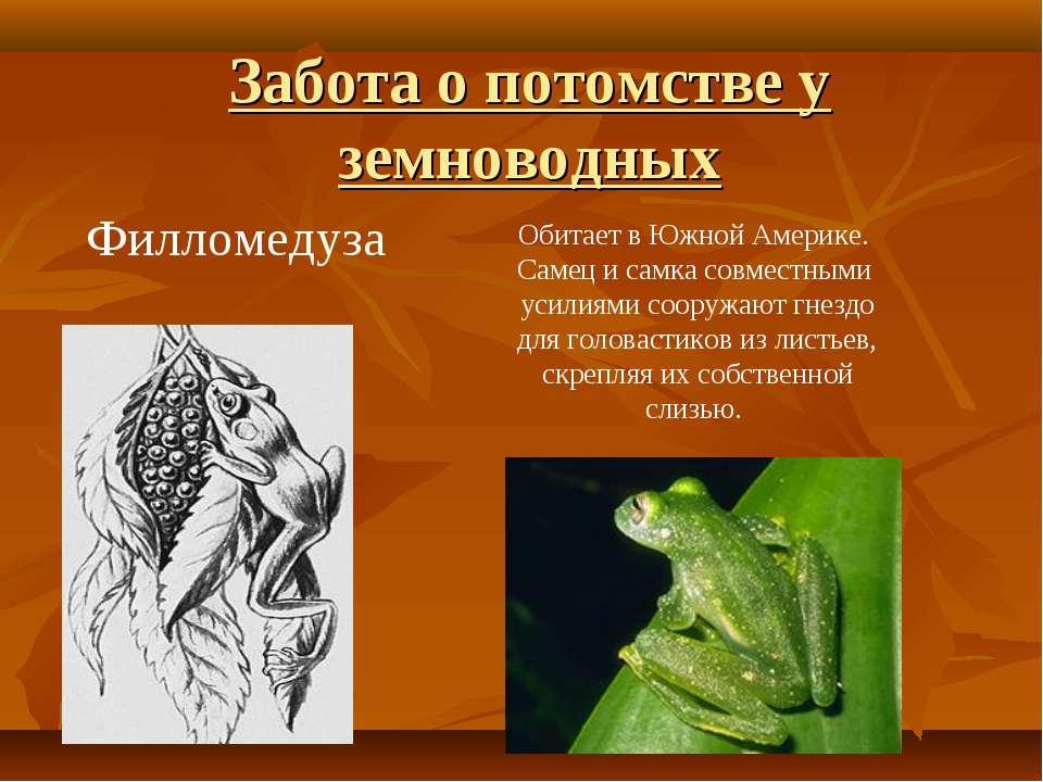 Филломедуза Обитает в Южной Америке. Самец и самка совместными усилиями соору...