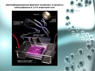 Амплифицированный фрагмент выявляют в процессе электрофореза в 1,6 % агарозно...