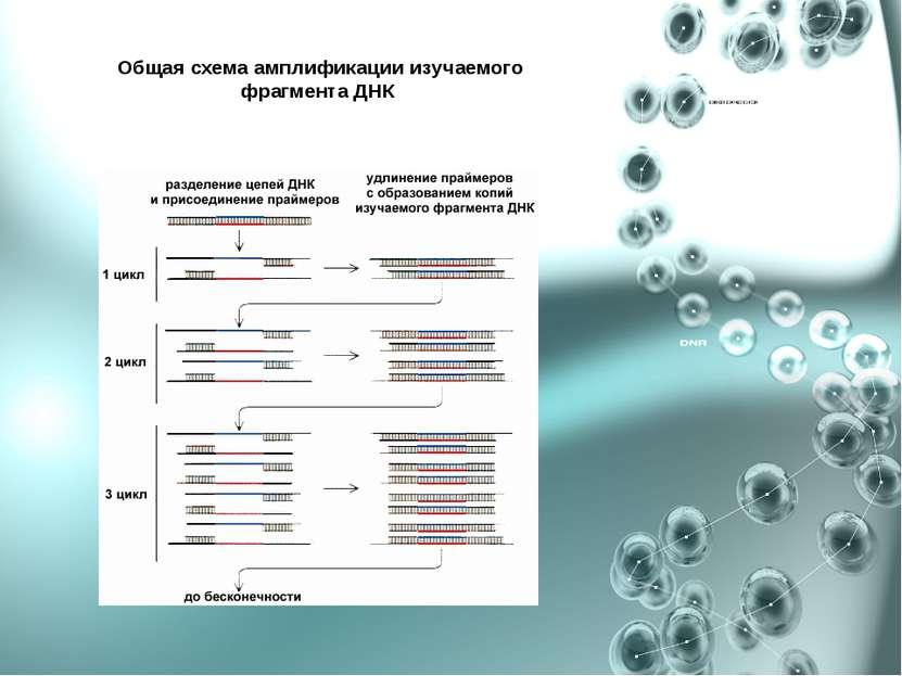 Общая схема амплификации изучаемого фрагмента ДНК