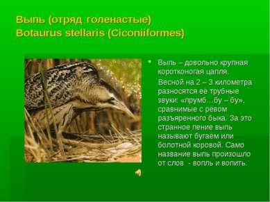 Выпь (отряд голенастые) Botaurus stellaris (Ciconiiformes) Выпь – довольно кр...