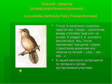 Певчий сверчок (отряд воробьинообразные) Locustella certhiola Pall ( Passerif...