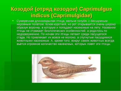 Козодой (отряд козодои) Caprimulgus indicus (Caprimulgidae) Сумеречная длинно...