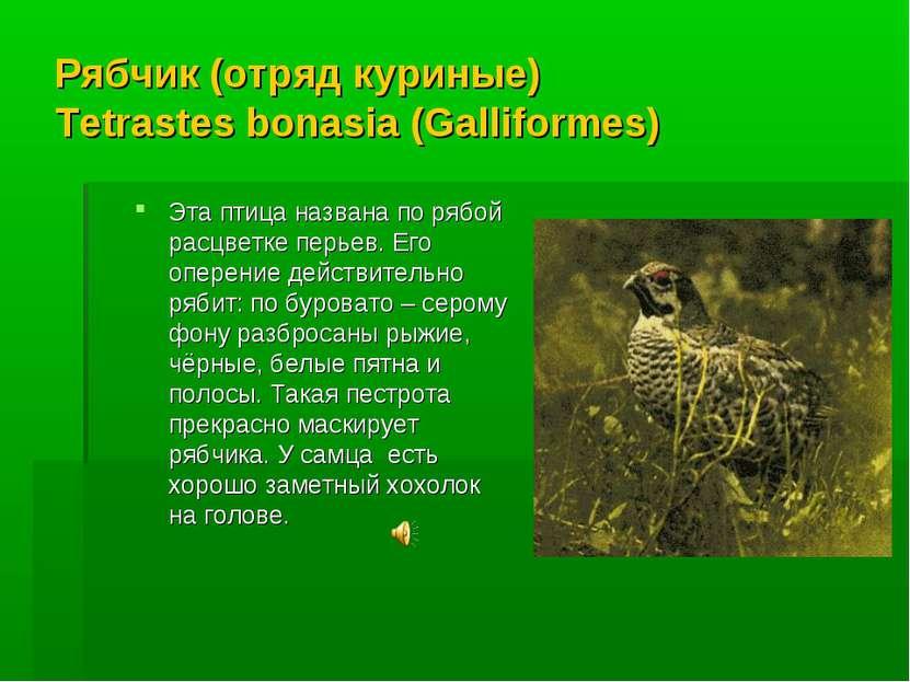 Рябчик (отряд куриные) Tetrastes bonasia (Galliformes) Эта птица названа по р...