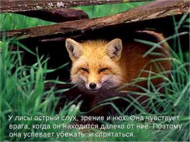 У лисы острый слух, зрение и нюх. Она чувствует врага, когда он находится дал...