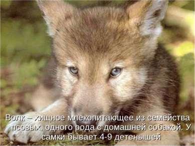 Волк – хищное млекопитающее из семейства псовых, одного рода с домашней собак...