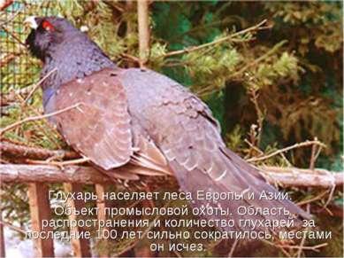 Глухарь населяет леса Европы и Азии. Объект промысловой охоты. Область распро...