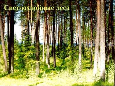 Светлохвойные леса