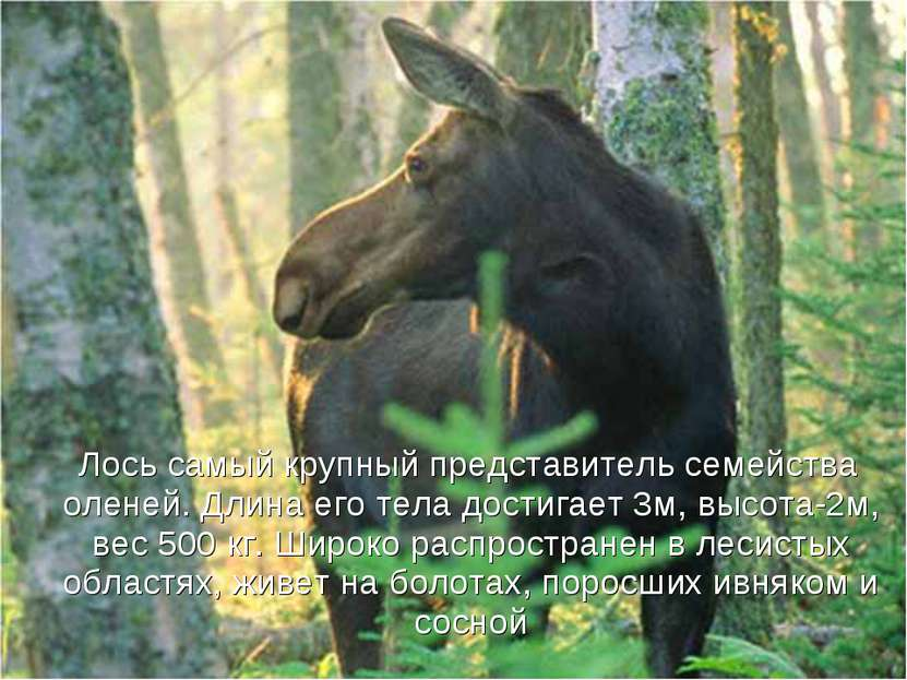 Лось самый крупный представитель семейства оленей. Длина его тела достигает 3...