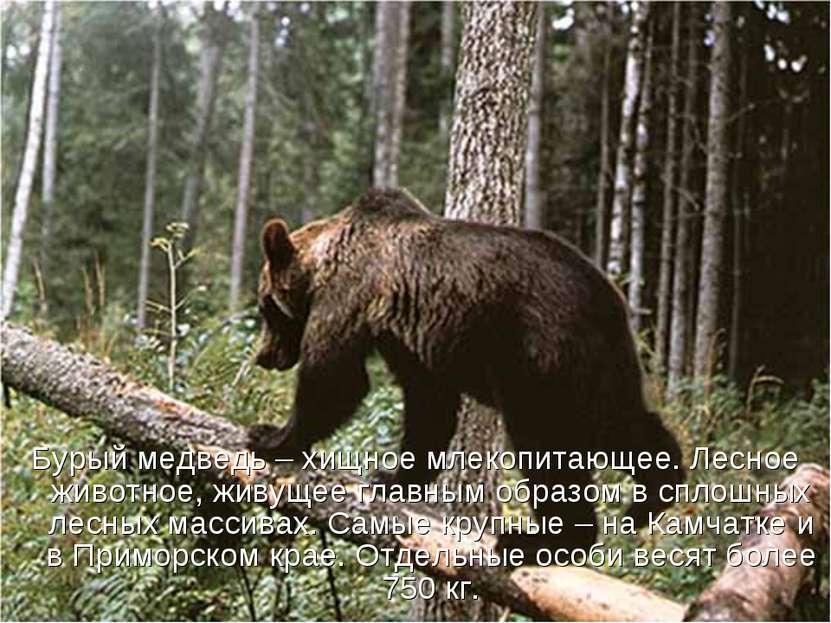 Бурый медведь – хищное млекопитающее. Лесное животное, живущее главным образо...