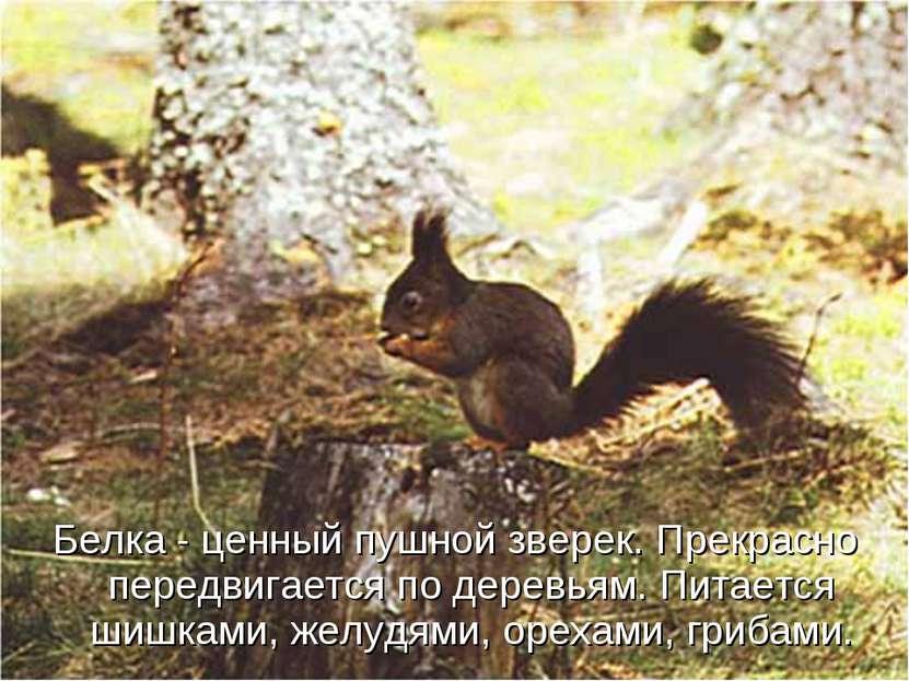 Белка - ценный пушной зверек. Прекрасно передвигается по деревьям. Питается ш...