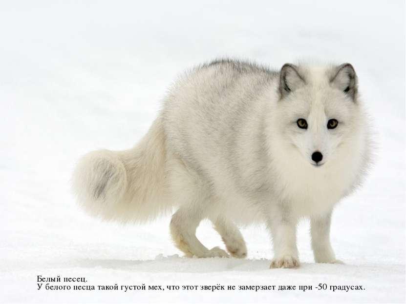 Белый песец. У белого песца такой густой мех, что этот зверёк не замерзает да...