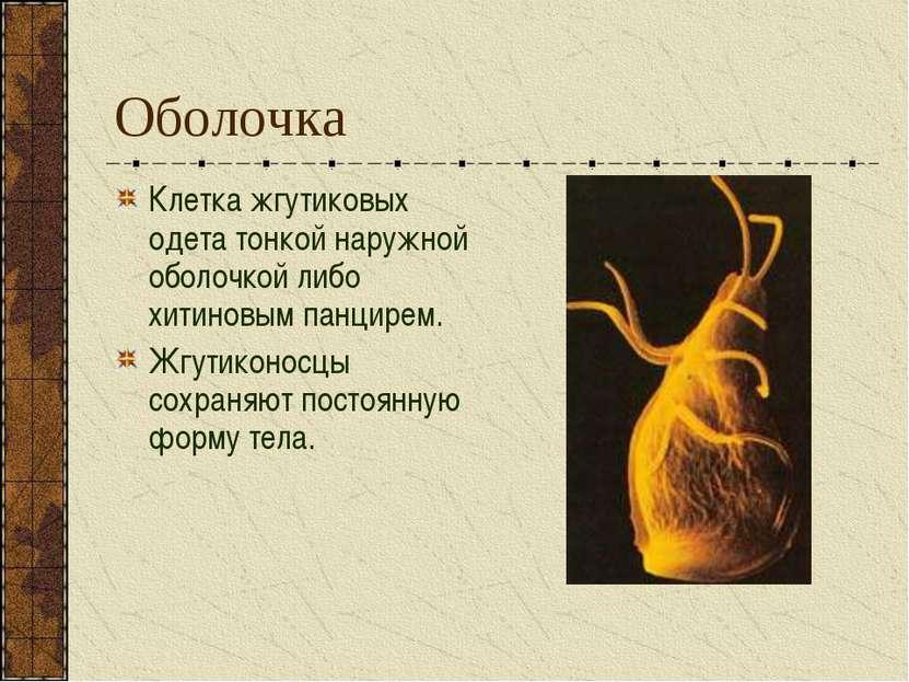 Оболочка Клетка жгутиковых одета тонкой наружной оболочкой либо хитиновым пан...