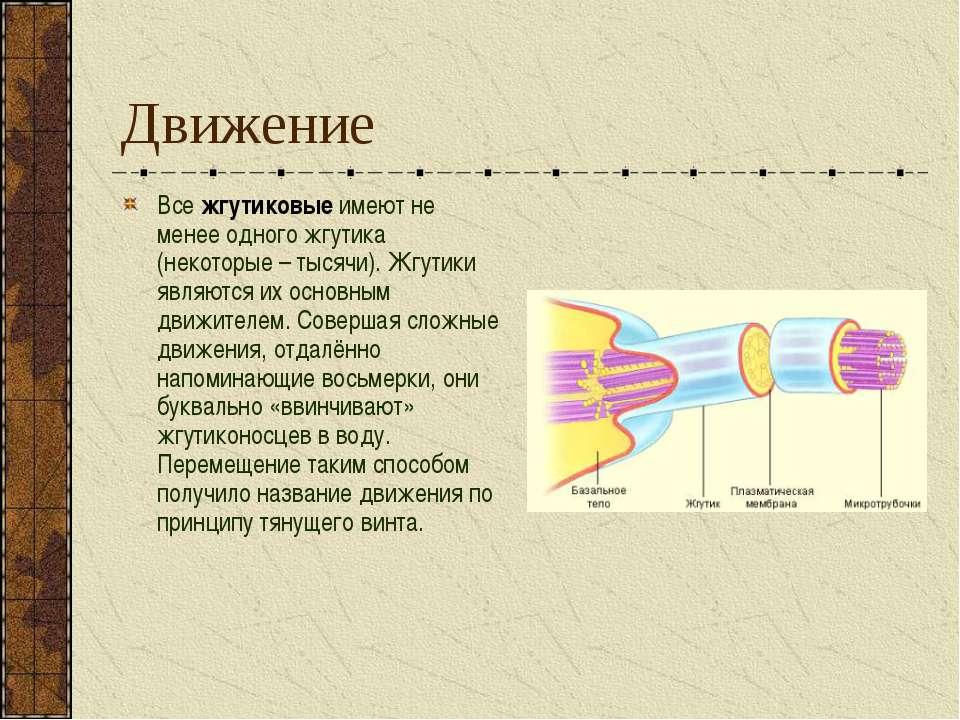 Движение Все жгутиковые имеют не менее одного жгутика (некоторые – тысячи). Ж...